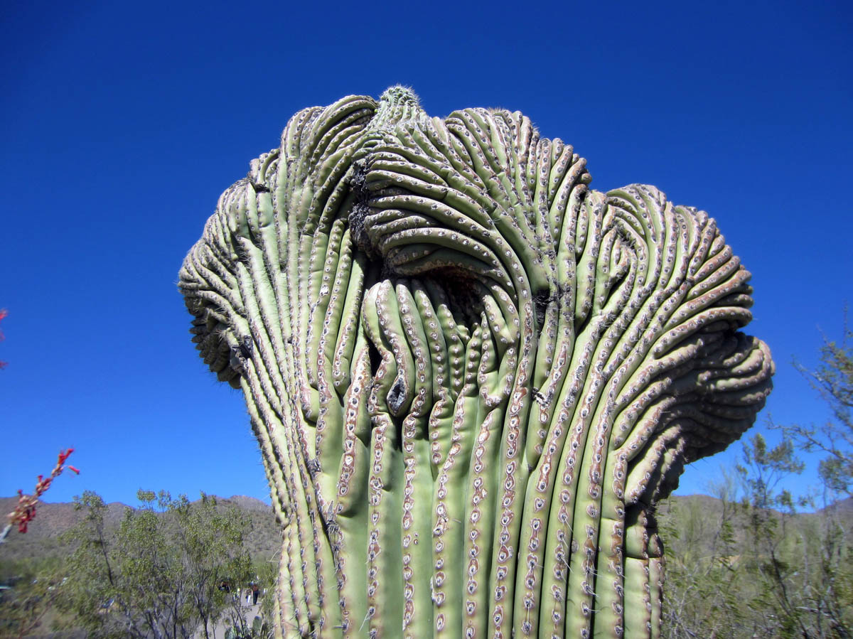 "The somewhat rare ""crested saguaro."""