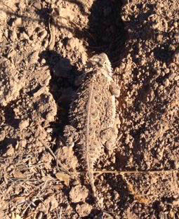 "A ""Horny Toad!""  When's the last time you saw a Horny Toad?  First time since I was a kid..."