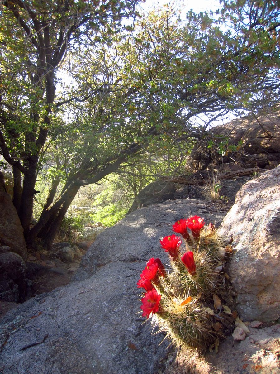 "Beautiful cactus blooming in the rock near ""The Steps"" on Willow Creek Reservoir Loop Trail"