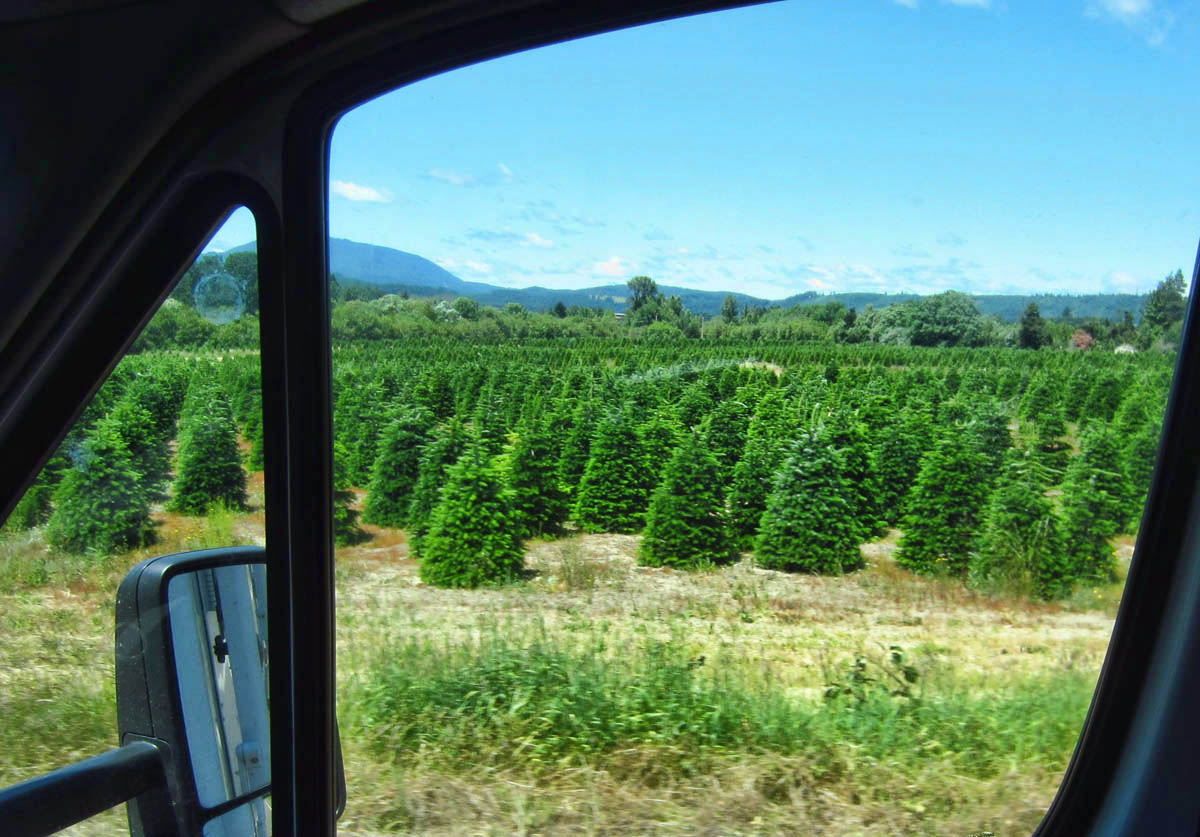 Christmas Trees along the highway