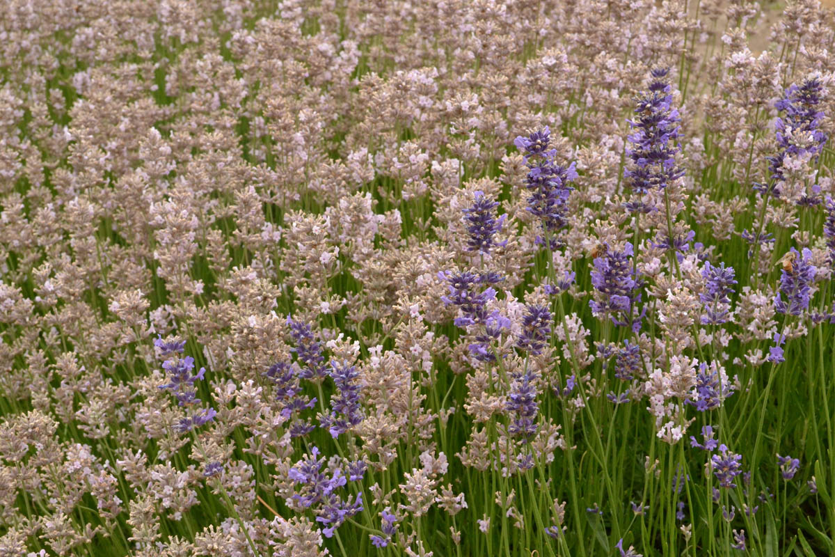 Lavender comes in many different varieties, some even pink.