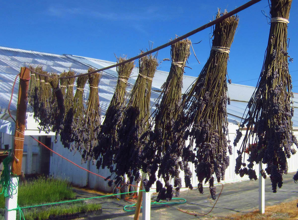 Lavender hung upside down to dry...same technique works in RV shower stall.  ;-)