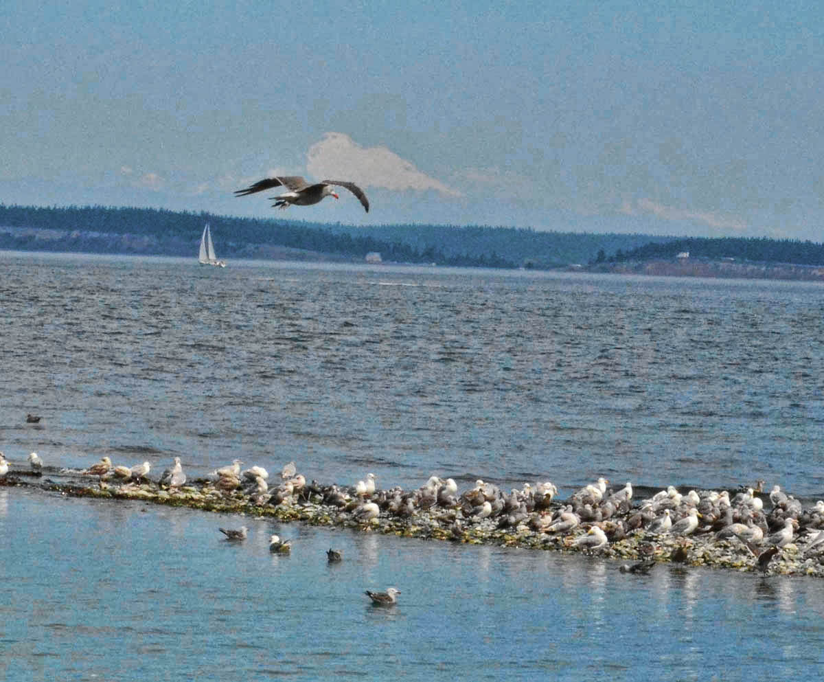 White outline above the gull is snowy Mt Baker