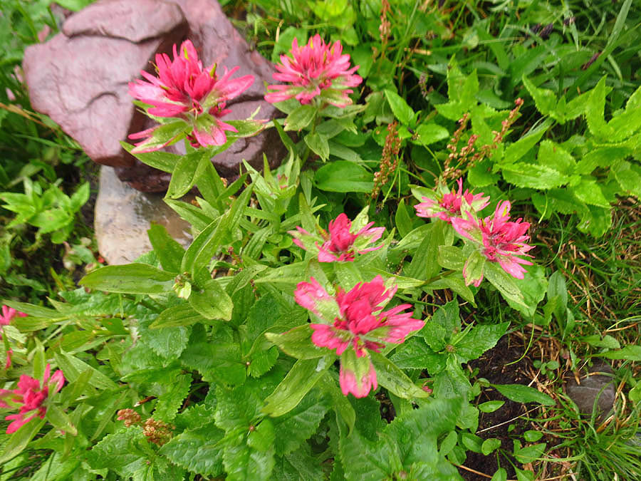I think this is my favorite wildflower of all.  Magenta Paintbrush?