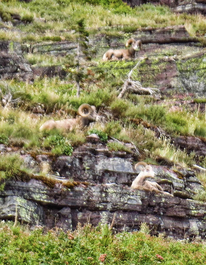 Blurry Bighorn Sheep on Vertical Shelves