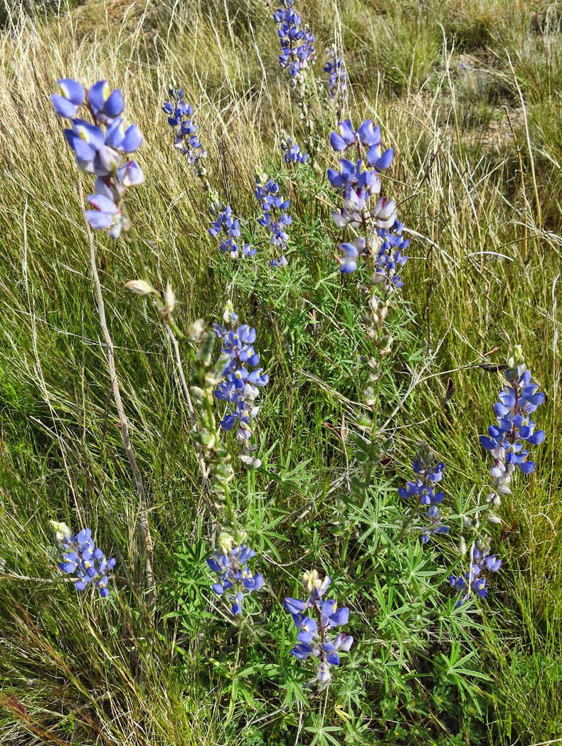 Lupine....A bluebonnet by any other name...