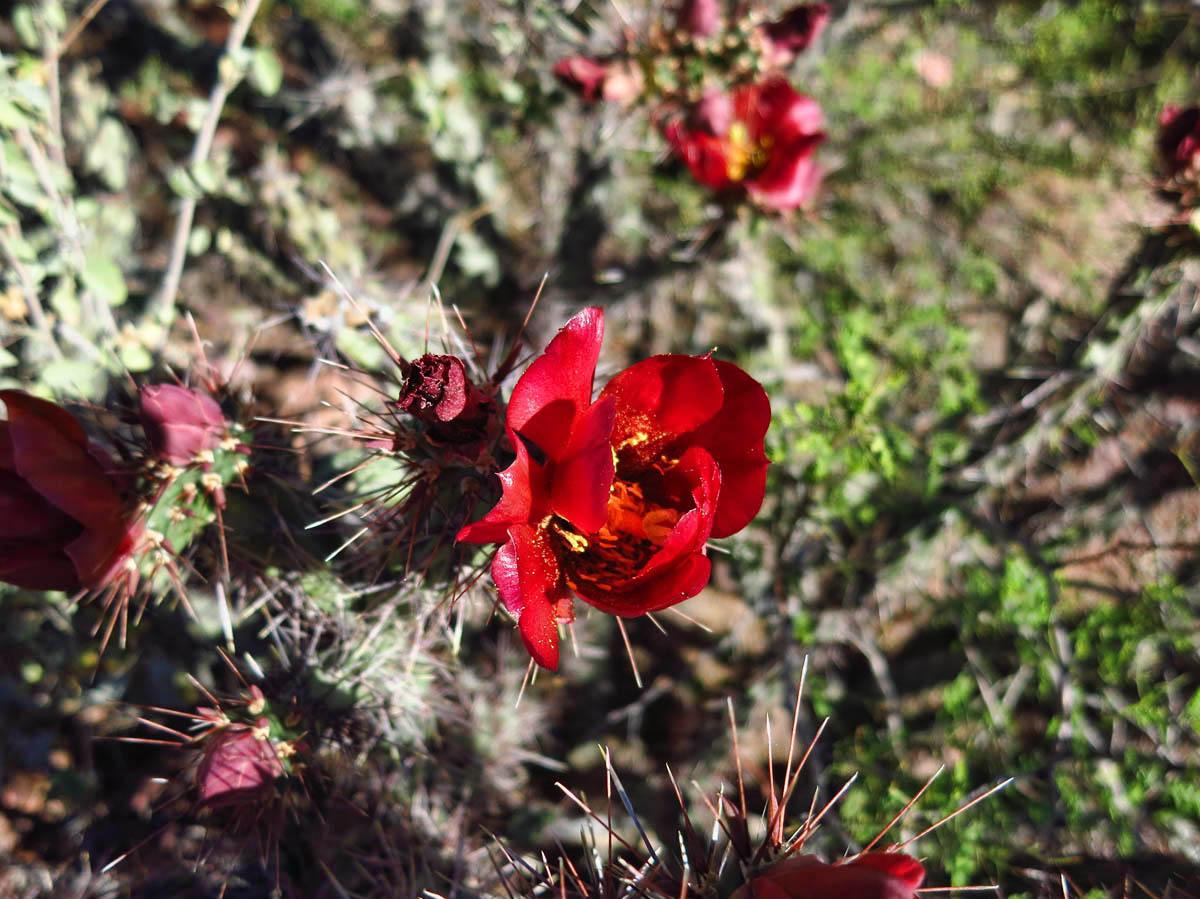 Beautiful cholla blooms look like rosebuds.