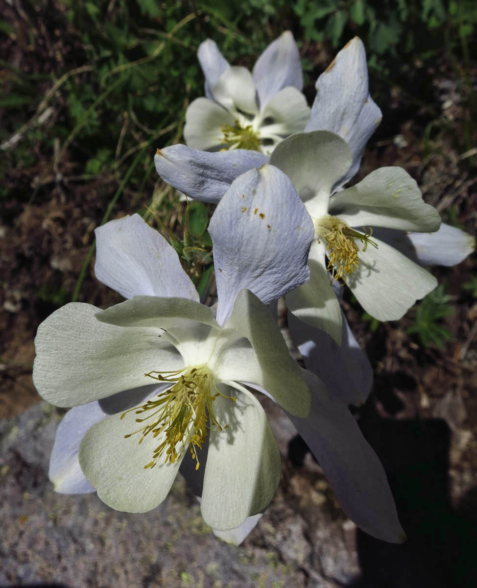 "Somewhat rare ""White Columbine.""  Though the outer petals are still a faint blue, the overall coloring is cream."