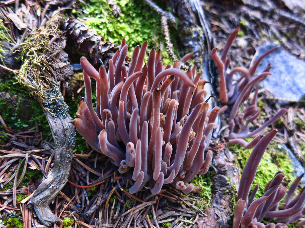 """Unfortunately, this is the only photo I got, as I was too engrossed in """"the hunt.""""  This is Coral Fungi"""