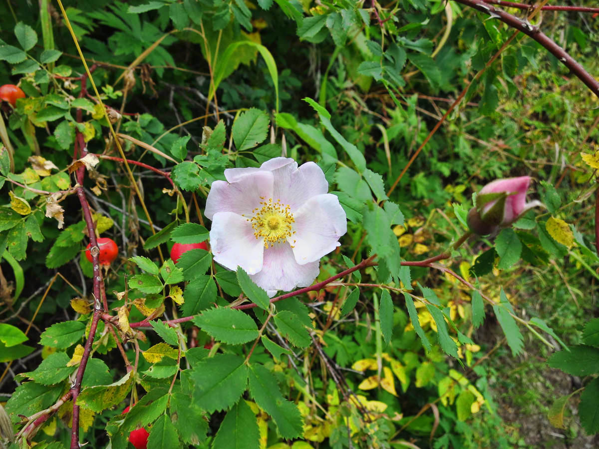 These wild roses were growing all long the path.  Very fragrant, unlike the hybrids!