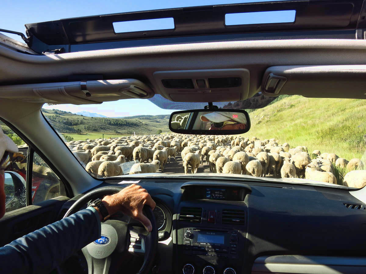 Our Sherpa, parting the sea of sheep.