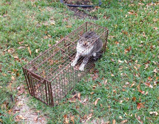 I tried trapping a skunk while on the farm, but I caught the wrong thing.   He was not a happy kitty!