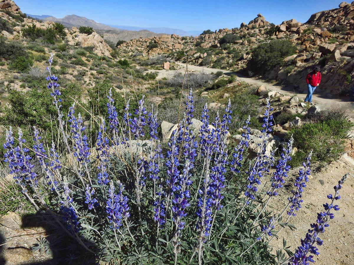 Beautiful bushes of Lupine along the trail.