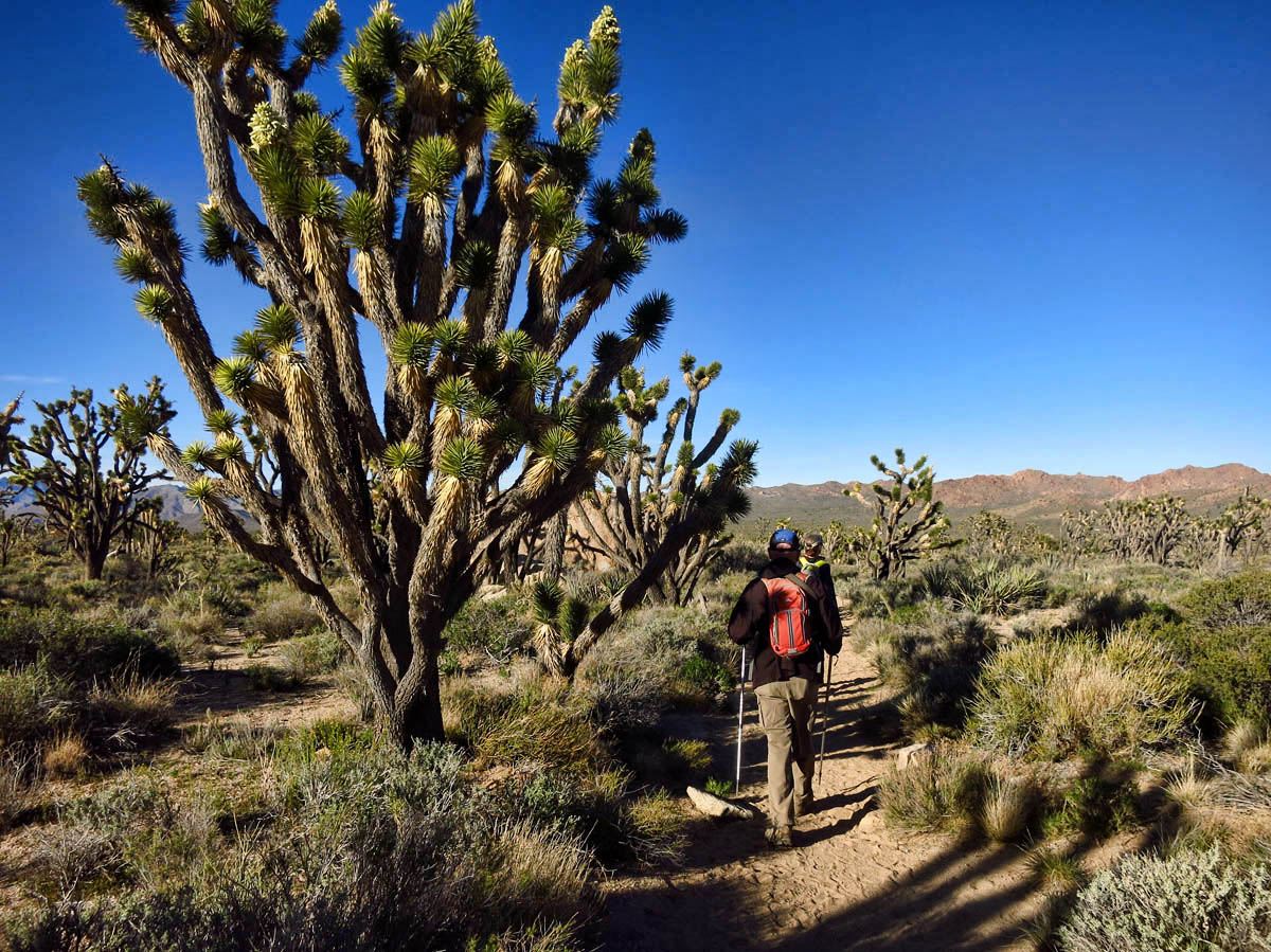 The Joshua Trees are a slightly different species than those from the park by the same name.