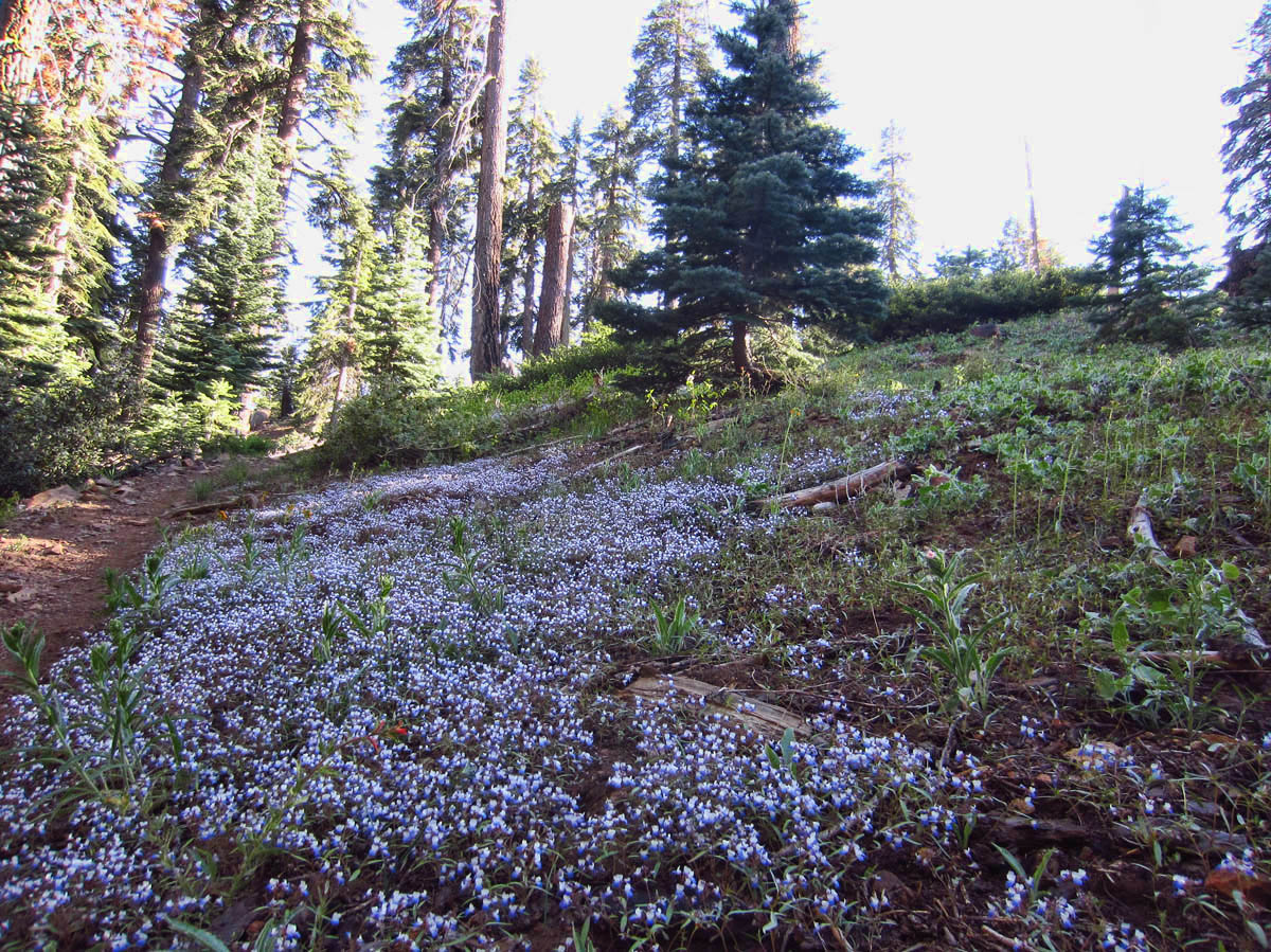 The forest near Panoramic Point, 7,500 ft, is carpeted in these tiny blue flowers.