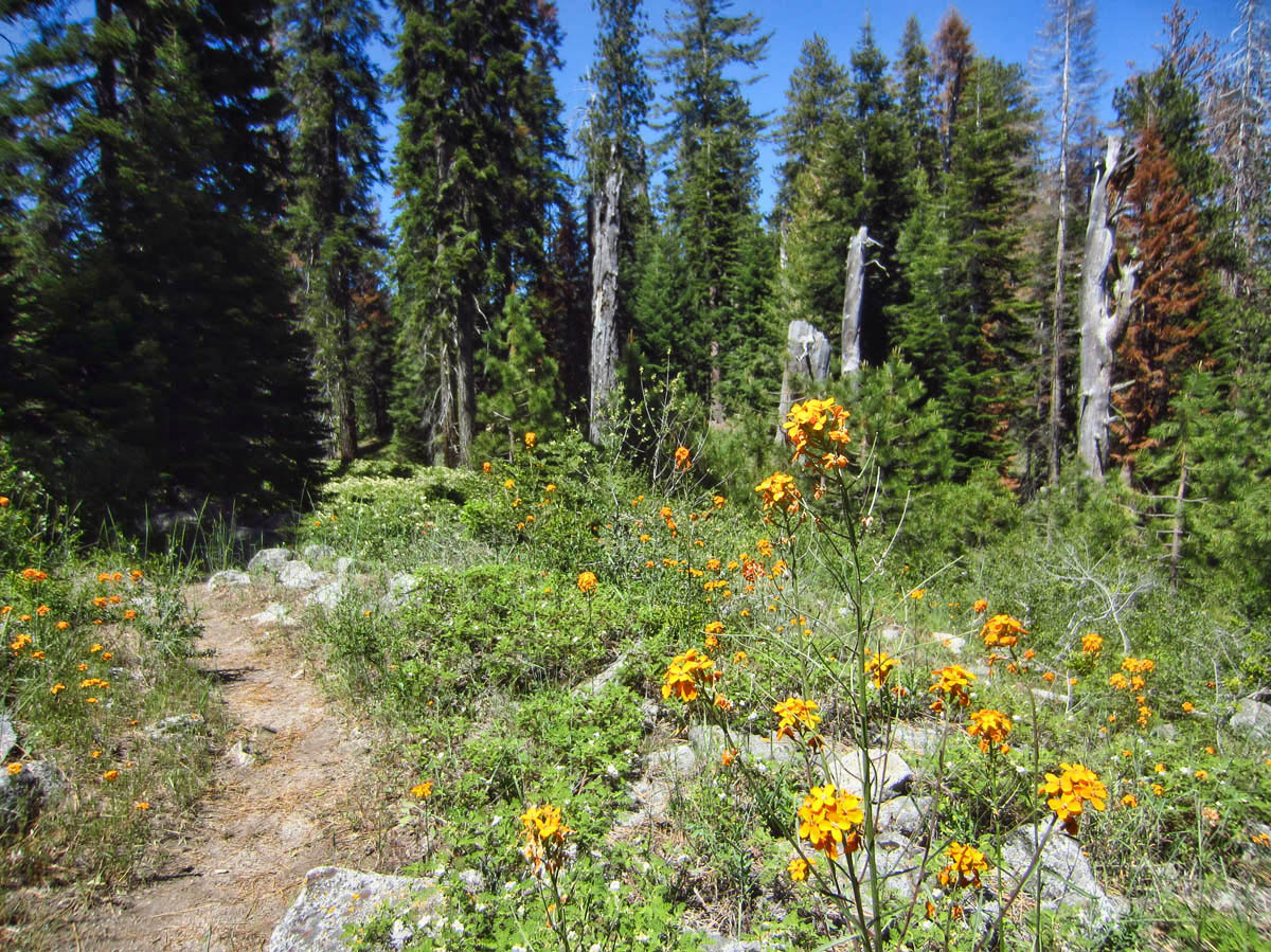 The Sugar Pine Trail is a lovely hike with lots of wildflowers.