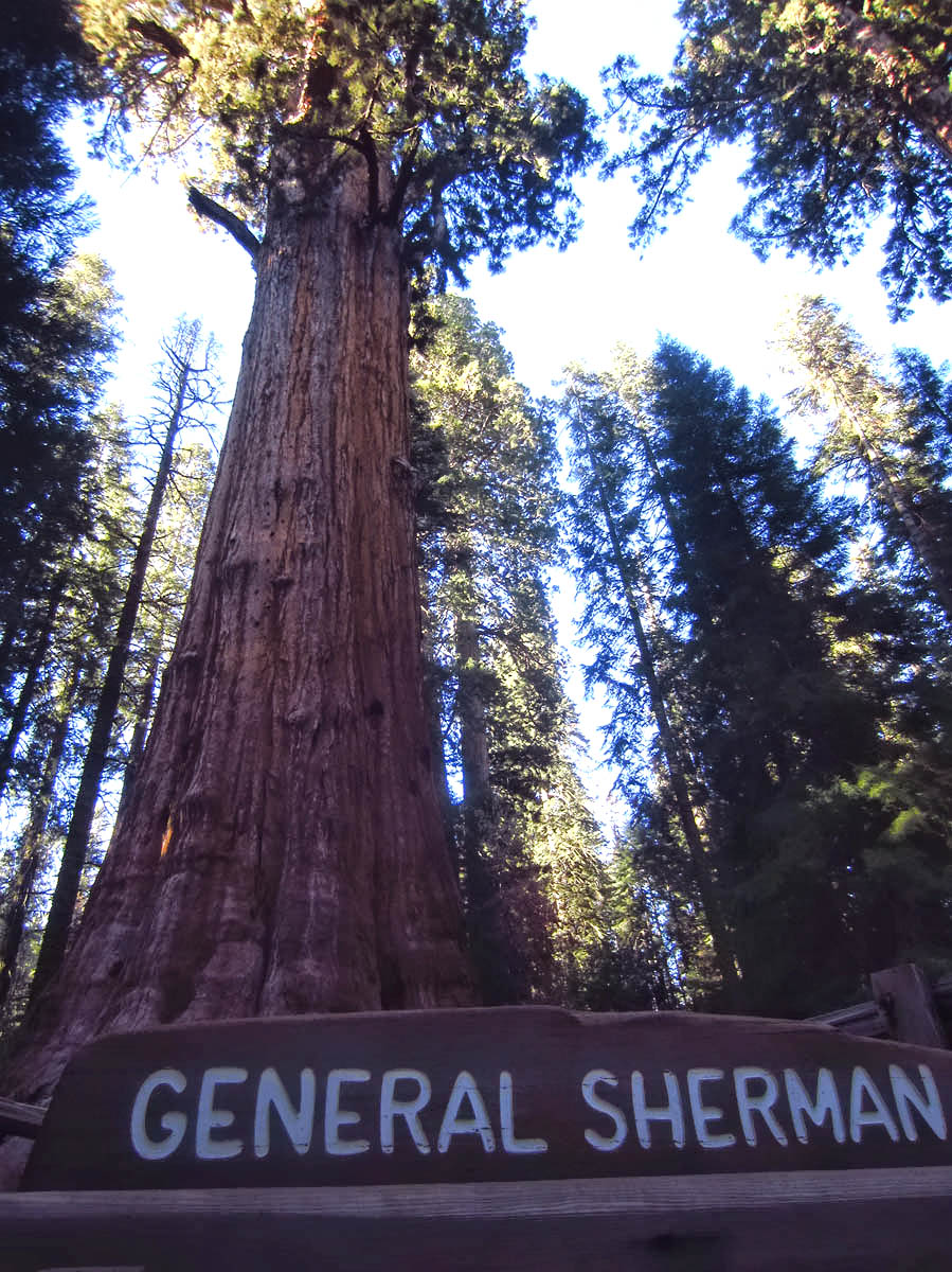 General Sherman Tree, largest in the world.
