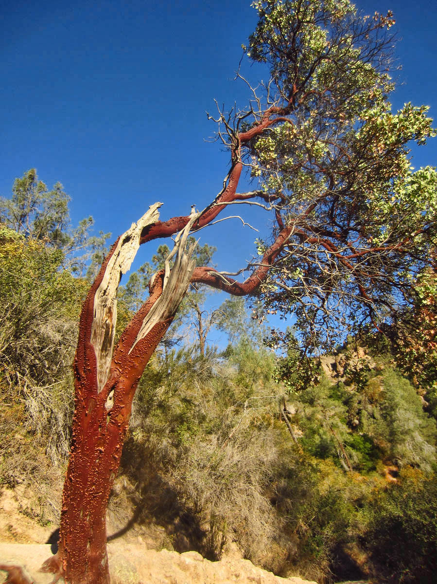 Interesting peeling red bark of the Manzanita tree.