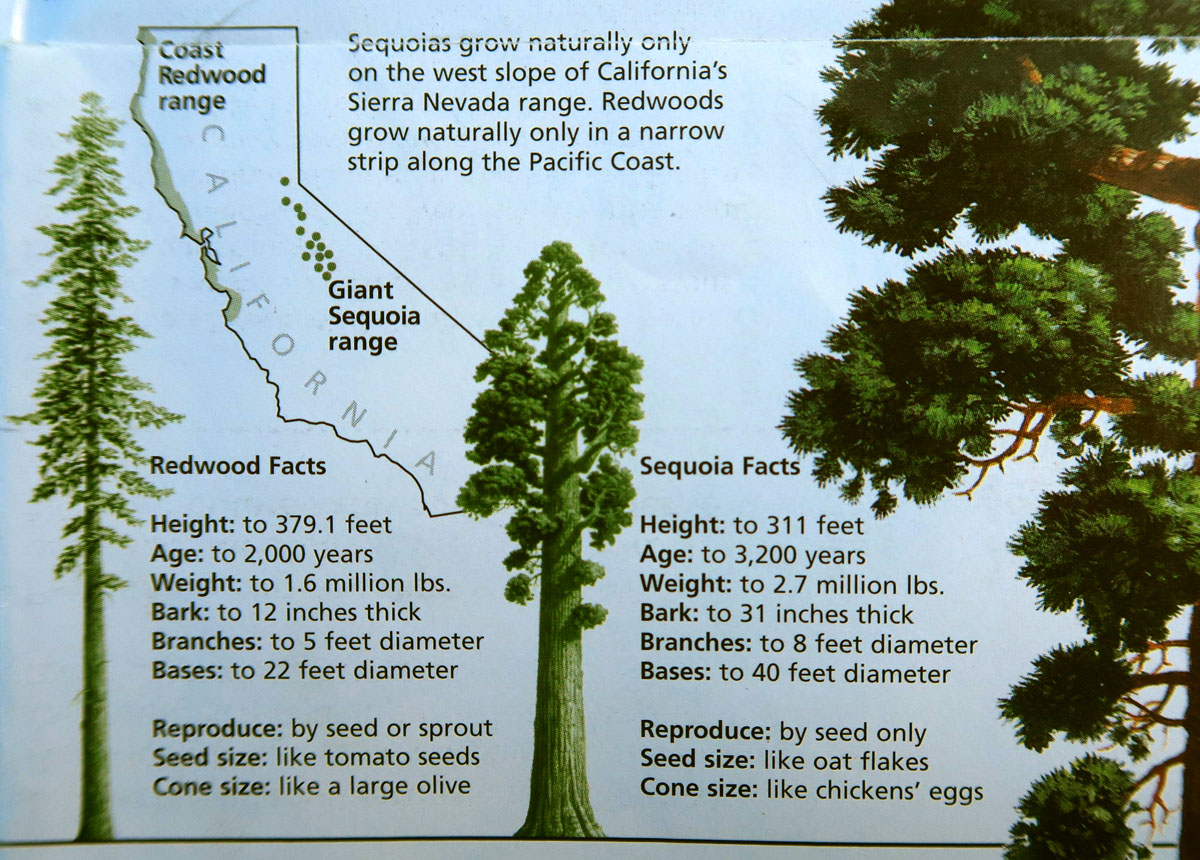 This illustration from the NPS brochure shows the vast differences between California Redwoods and the Sequoias.