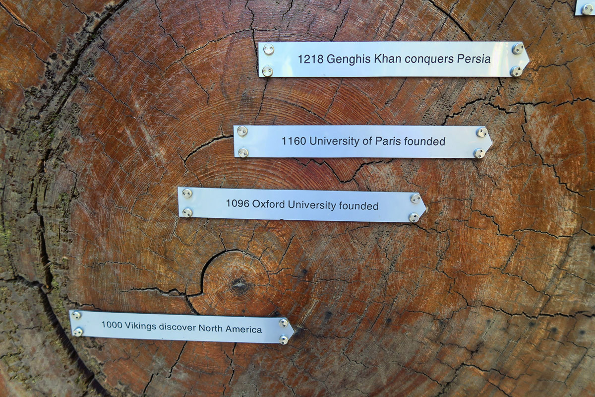 A cross-section of a redwood with chronology dating back to Viking days.
