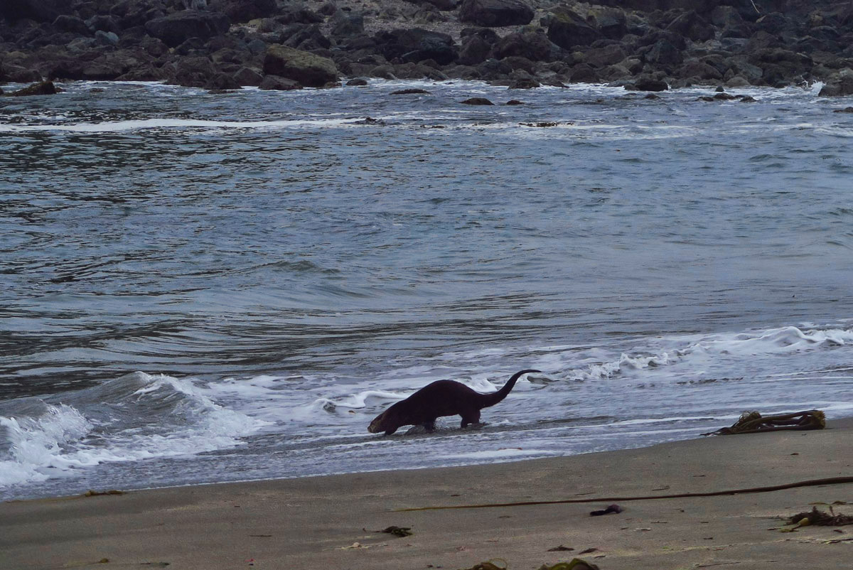 As I get closer, it takes off into the waves. It's a River Otter! I've never seen one before....