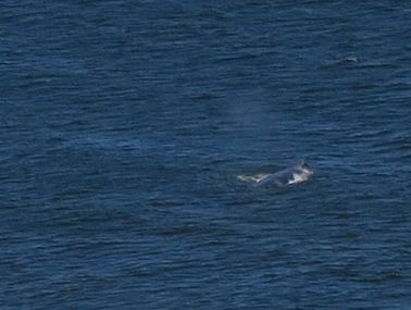 Here is a cropped close-up. It appears to be a mama gray whale and a juvenile.