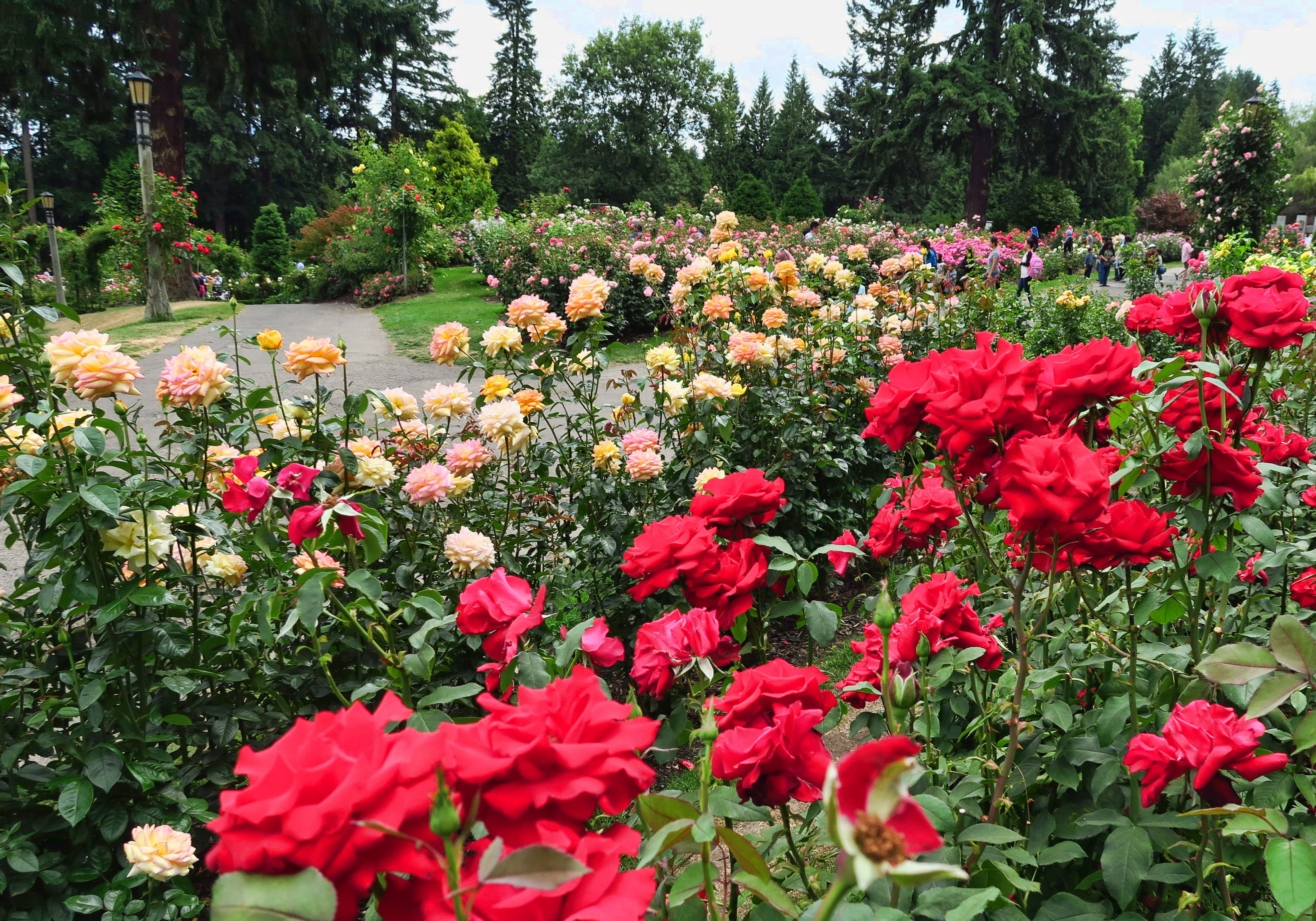 Portland's International Rose Garden is largest I have ever seen.