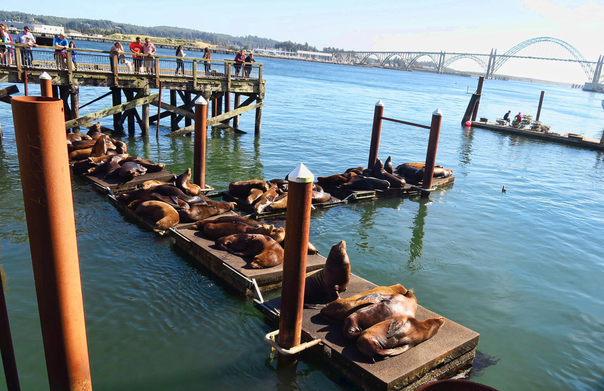 Transient Newport residents...California sea lions.