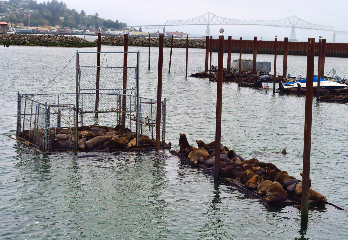California Sea Lions love Astoria as much as I do.