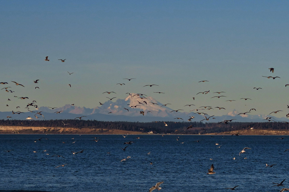 Mt Baker behind the birds.
