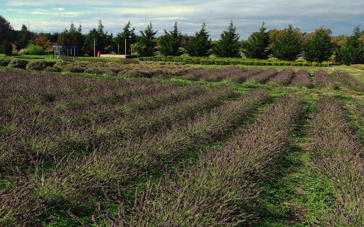 Jardin du Soleil Lavender Farm, Sequim, WA.