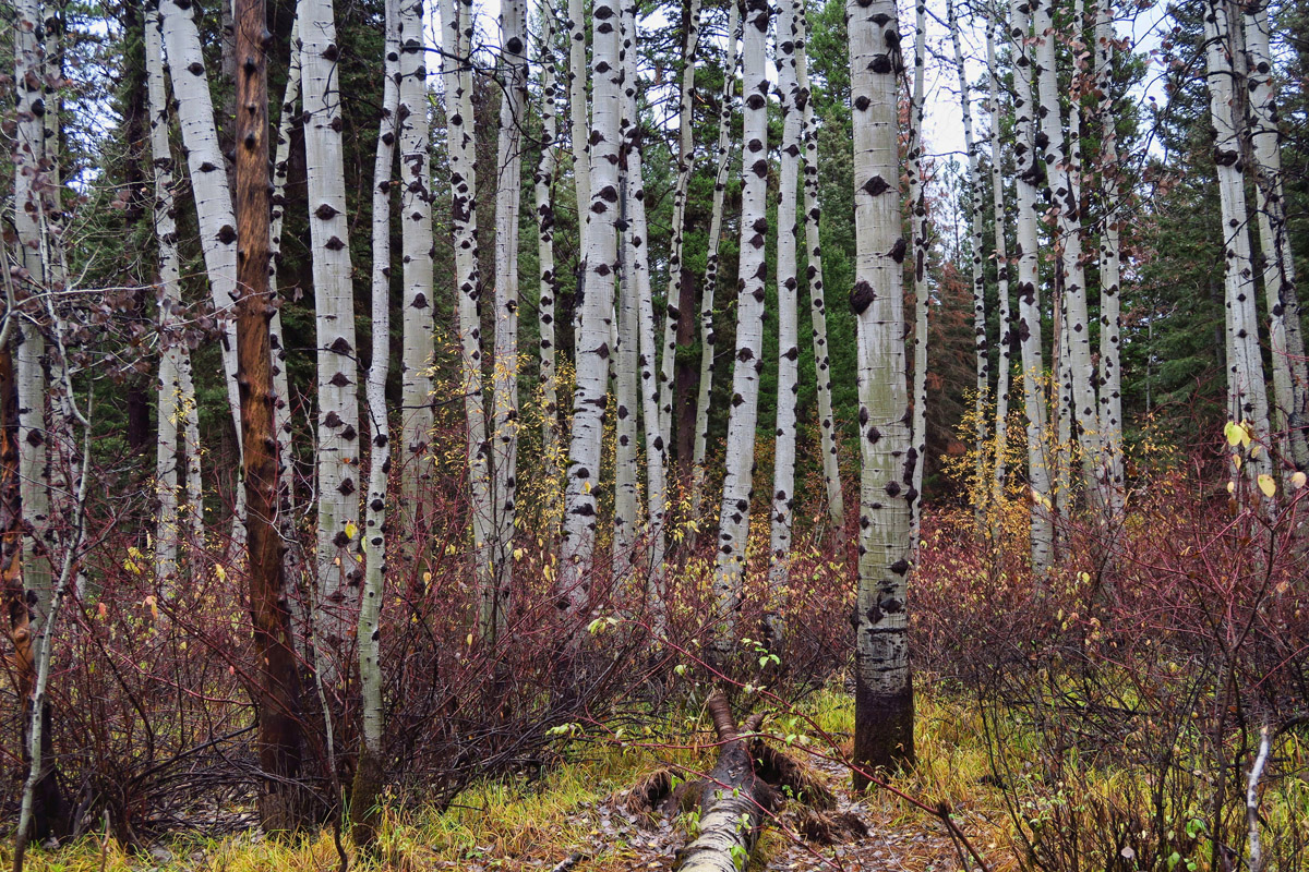 Beautiful Aspen grove in Meadow Marsh Loop.