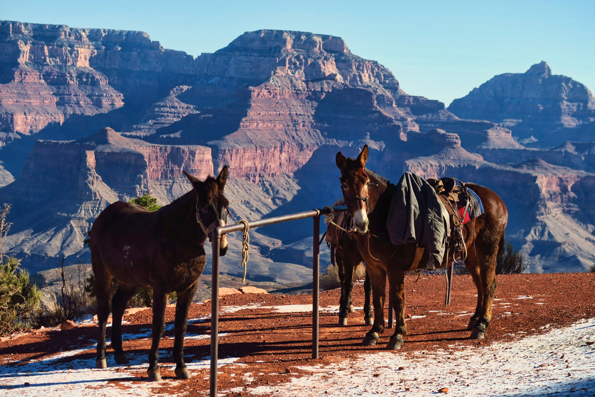 "Mules play an important role in the Grand Canyon, as everything must be transported on their backs. A cross between a male donkey and a female horse, they are ""sensitive spirits in robust bodies."""