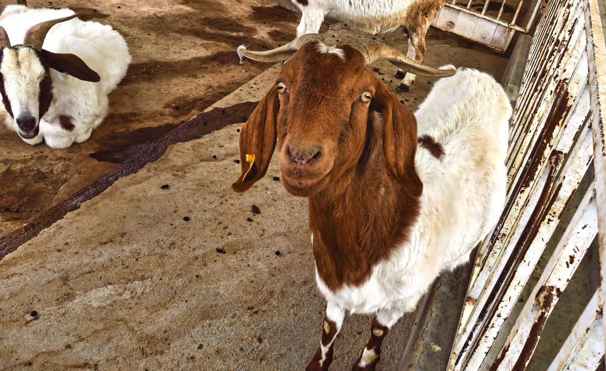 This guy's a little wild-eyed. Love that he has tufts of hair on the end of each horn.