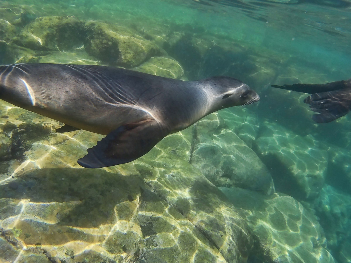 They use their front flippers to swim, whereas seals use their back flippers.