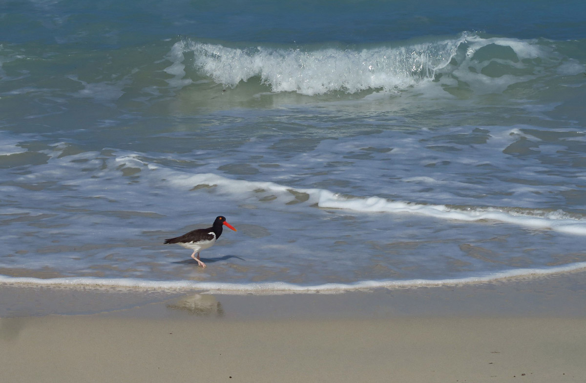 Oystercatcher at work...