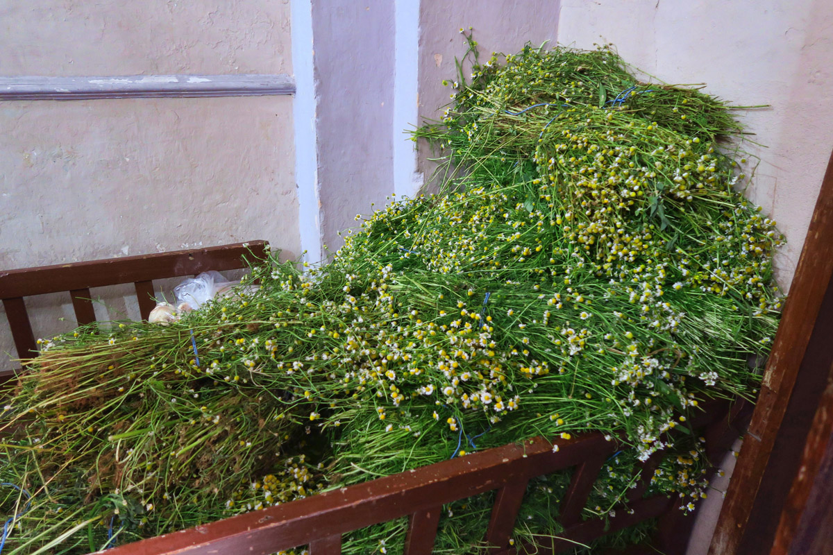"Bundles of chamomile, or ""manzanilla"" in Spanish."