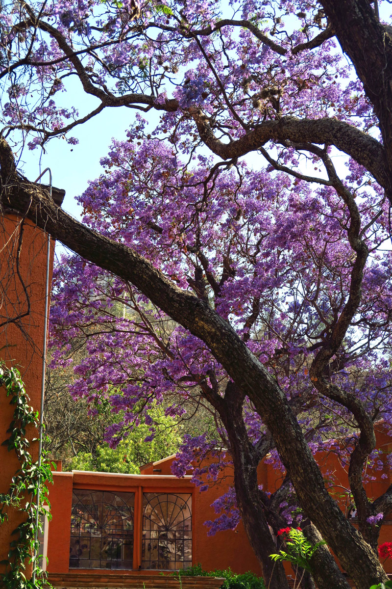 The beautiful purple Jacaranda trees are all blooming when I arrive.