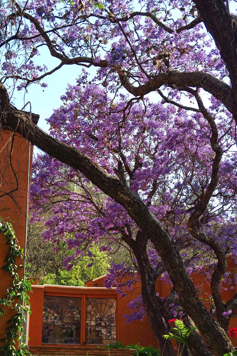 The beautiful purple Jacaranda trees are all blooming when I arrive.
