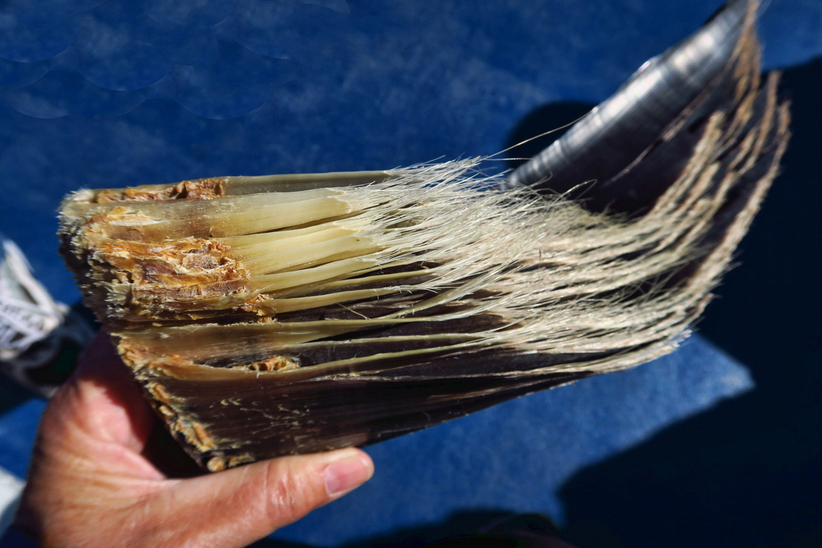 Steve passes around a sample chunk of baleen. Instead of teeth, whales feed through these keratin plates by scooping in fish, then squeezing the water out through the plates, leaving their food caught on the baleen like a giant colander.
