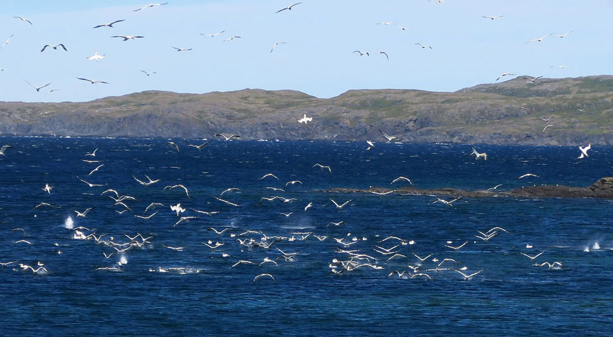 I've never seen gulls diving like this before. They fly up in a circle, then dive head first in what looks to be a 20 ft tailspin. I believe they are diving for Caplin.