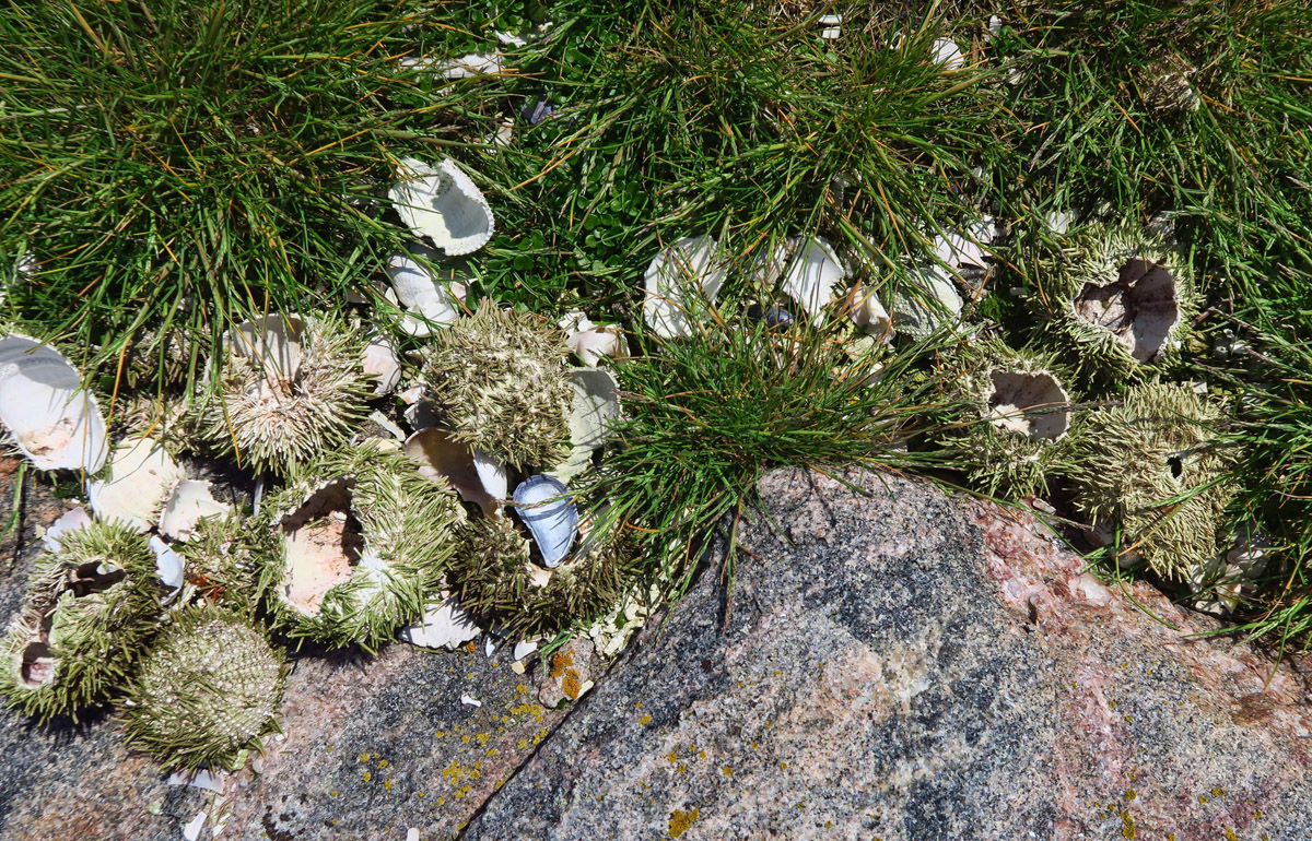 I hike along the waters edge for a better view of the icebergs, and come across a gull's trash pile of sea urchin shells.