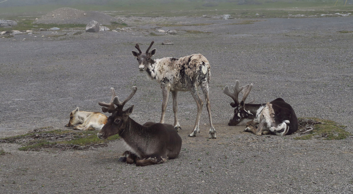 A small herd of Caribou reside at the Port aux Choix National Historic Site.