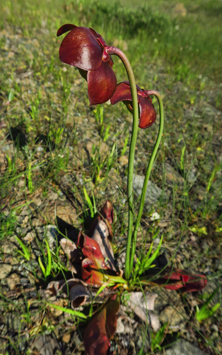 "The pitcher plant is carnivorous, with bugs flies and spiders being digested in the lower ""pitfall"" plant."