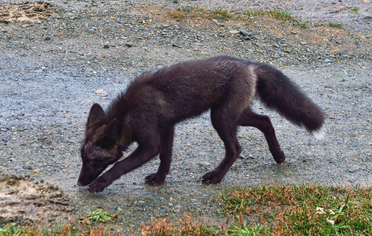 Arctic Fox at my boondock spot.