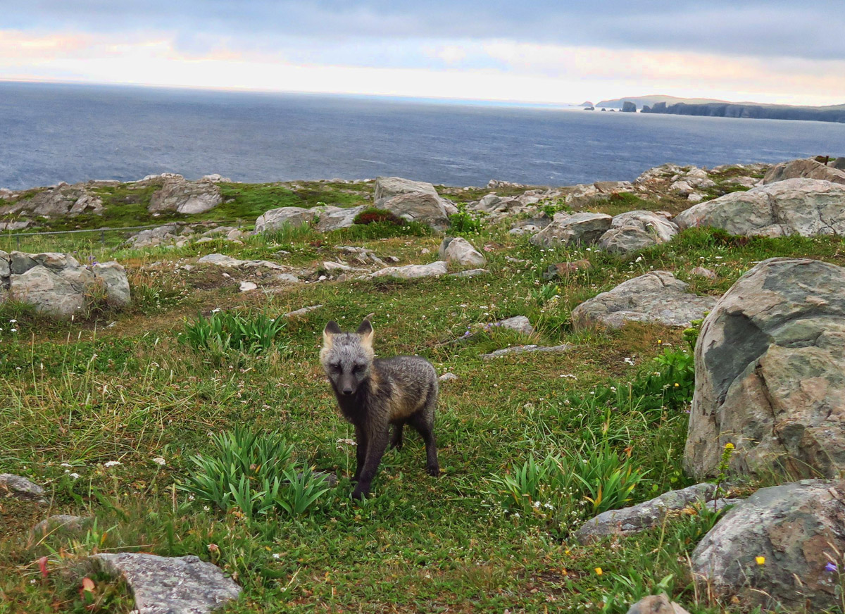 Another artic fox. There are four that live on Cape Bonavista, obviously used to being fed by the tourists.