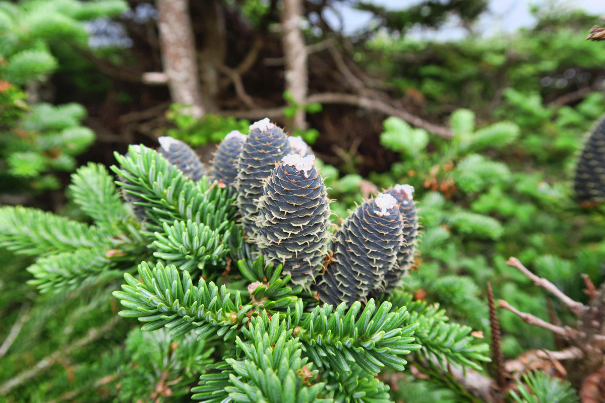 Firs differ from other conifers in having erect, cylindrical cones that stand up like candles.