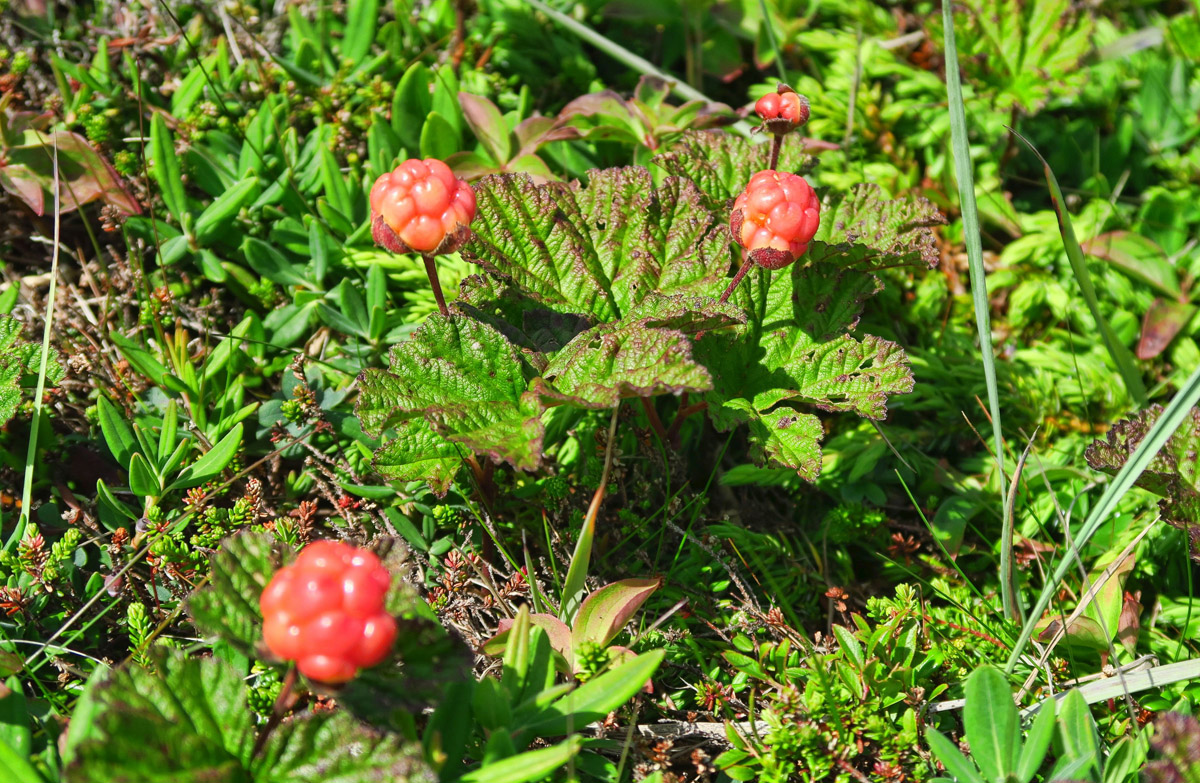 "Newfoundland's most famous fruit, the ""Bakeapple,"" also known as Cloudberry. It tastes like a cross between a raspberry and an apricot."