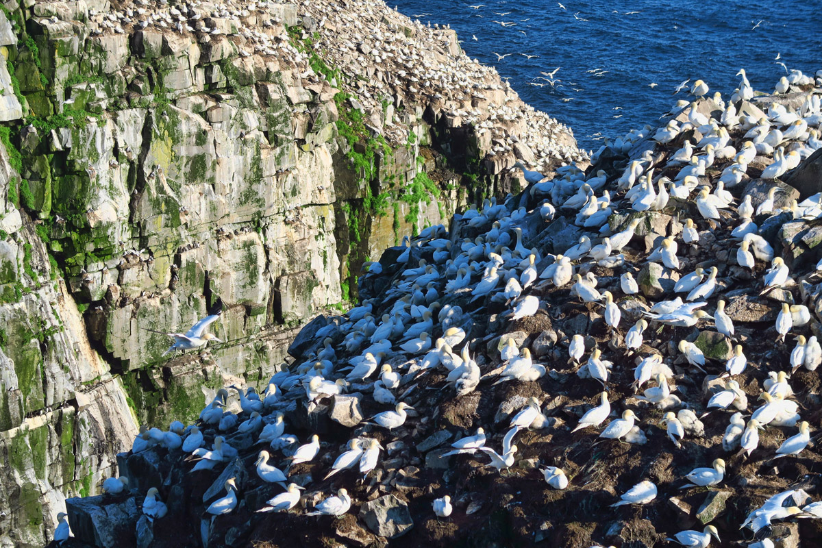 Northern gannets mostly inhabit the flat top of the rock...