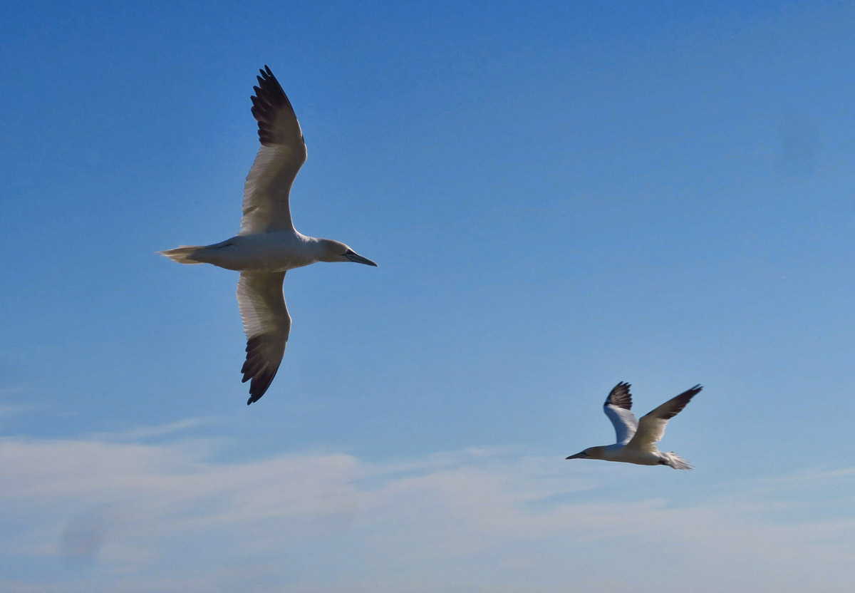 So graceful and elegant in flight with their black wing-tips.